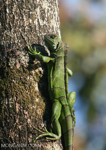 Common green iguana (Iguana iguana) on a tree trunk in the Amazon rainforest