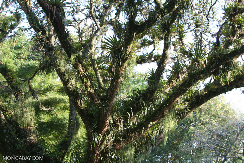 Canopy tree laden with epiphytes