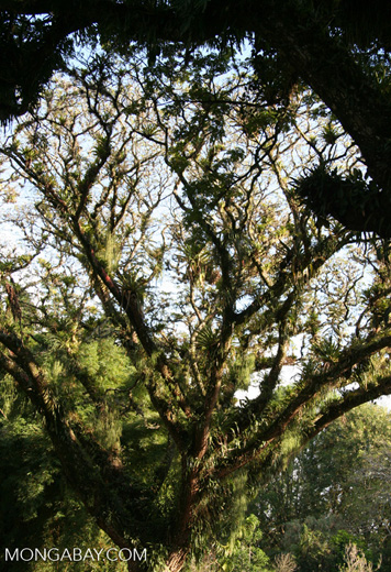 Epiphytes on a rainforest tree