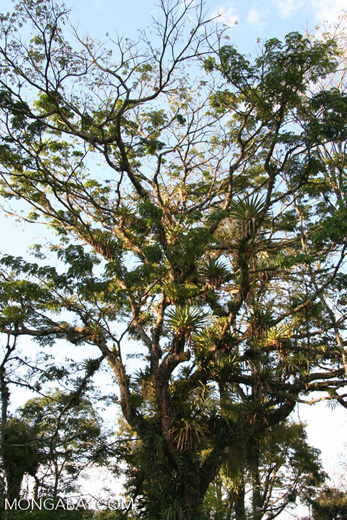 Bromeliads and other epiphytes in a canopy tree