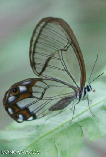 Transparent butterfly (Pseudohaeterea hypaesia) in Colombia.  This