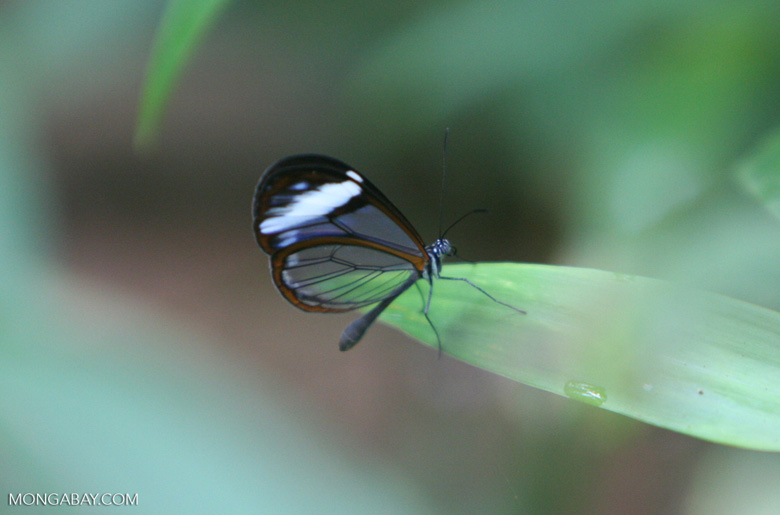Transparent butterfly of the Nymphalidae family (Subfamily Satyrinae)