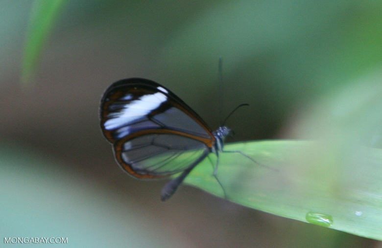Satyrinid (Satyrinae) butterfly with clear wings