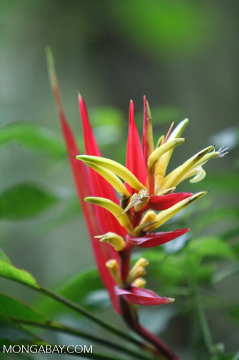 Red and yellow Heliconia in Colombia
