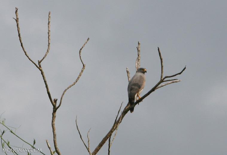 Roadside Hawk (Buteo magnirostris) in Colombia