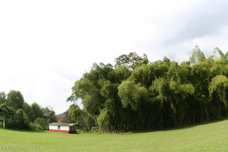 Bamboo grove in Colombia