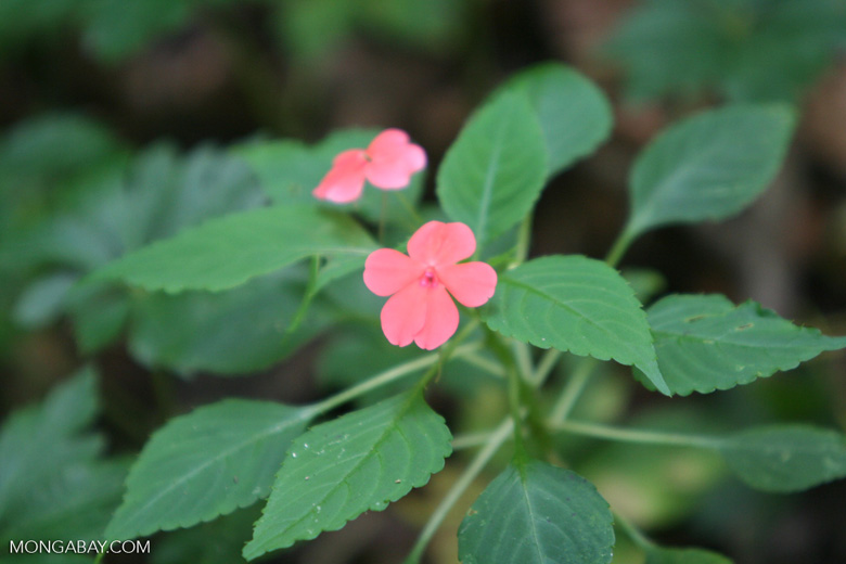 Pink flower common in the montane forest of Santuario Otún Quimbaya