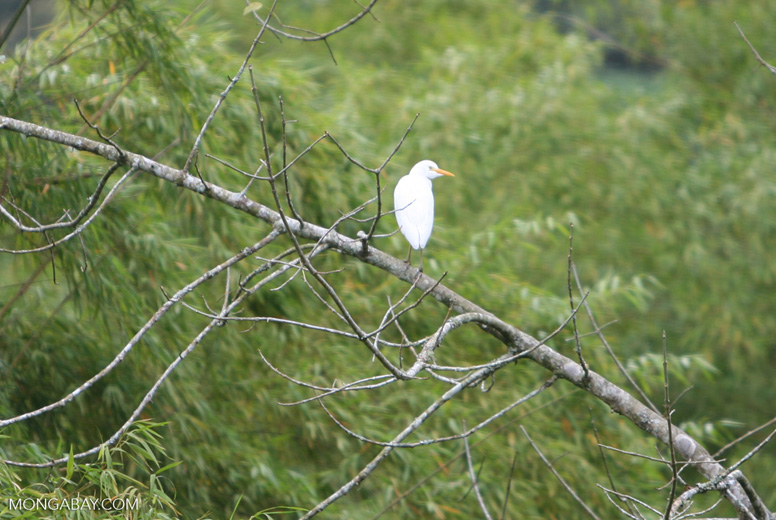 White Bird is a Cattle Egret in non breeding plumage