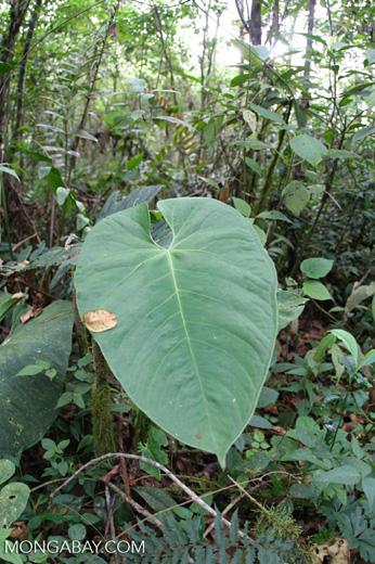 Umbrella leaf [co03-9717]