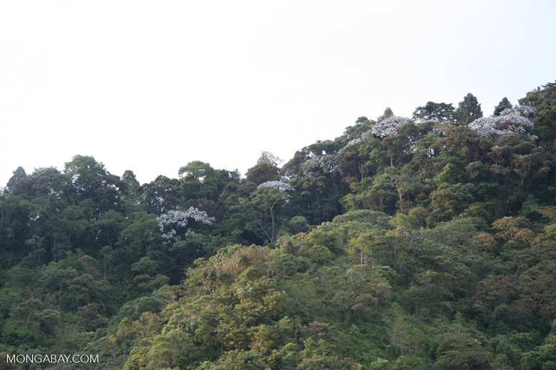 Canopy trees with white leaves