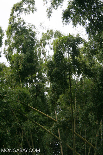 Giant bamboo at the botanical gardens in Pereira