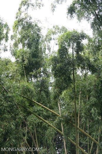 Giant bamboo at the Jardín Botánico de la Universidad Tecnológica de Pereira