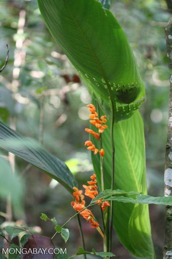 Orange Heliconia [co03-9775]