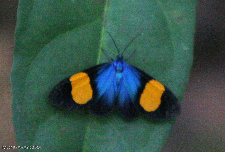 Black, blue, and orange butterfly