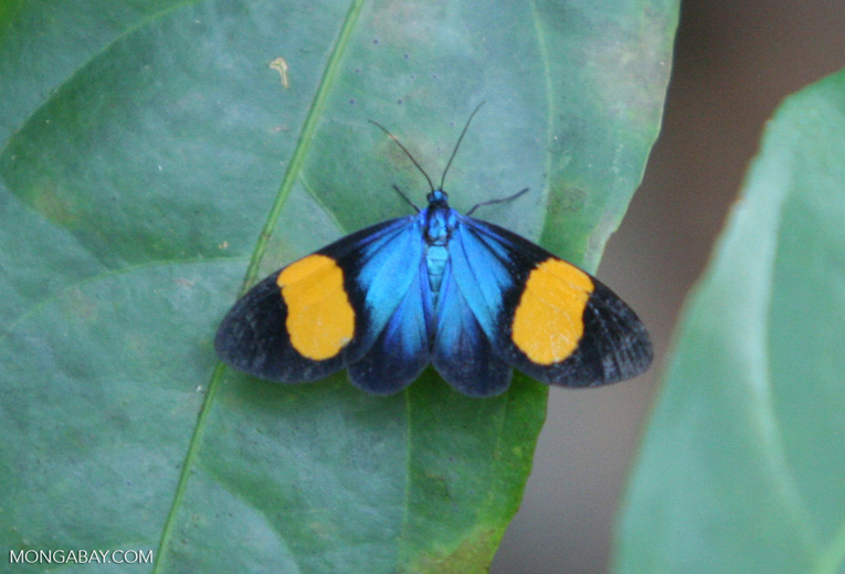 Black, blue, and orange butterfly in Colombia