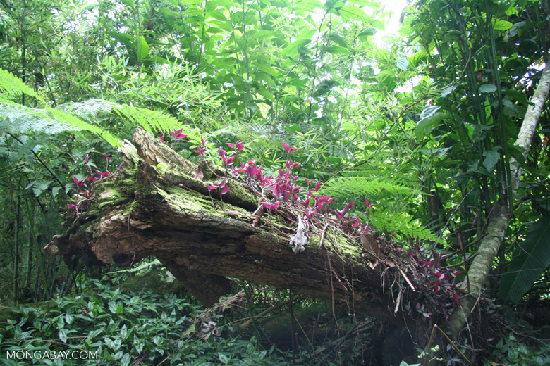 Red epiphytic plants growing out of a rotting log