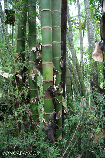 Giant bamboo in Colombia [co03-9846]