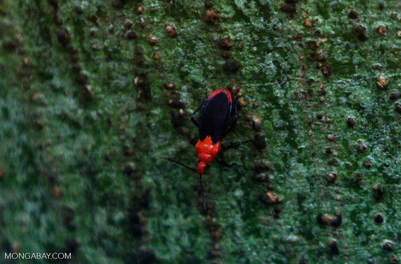 Orange and black Assassin Bug, family Reduviidae
