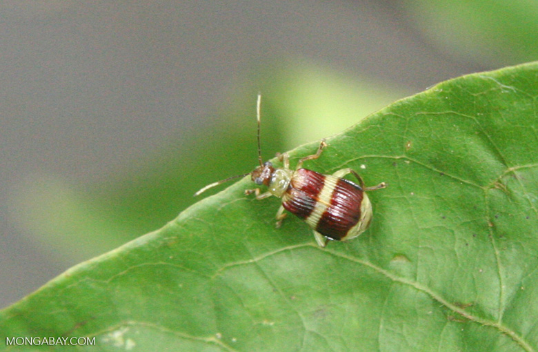Brown and green Leaf Beetle, family Chrysomelidae