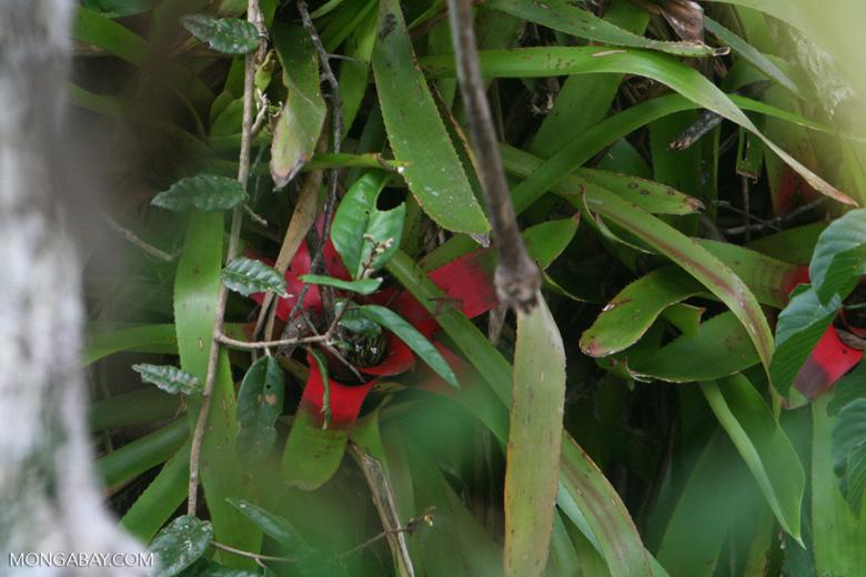 Bromeliads (Neoregelia carolinae) in the Amazon rain forest canopy