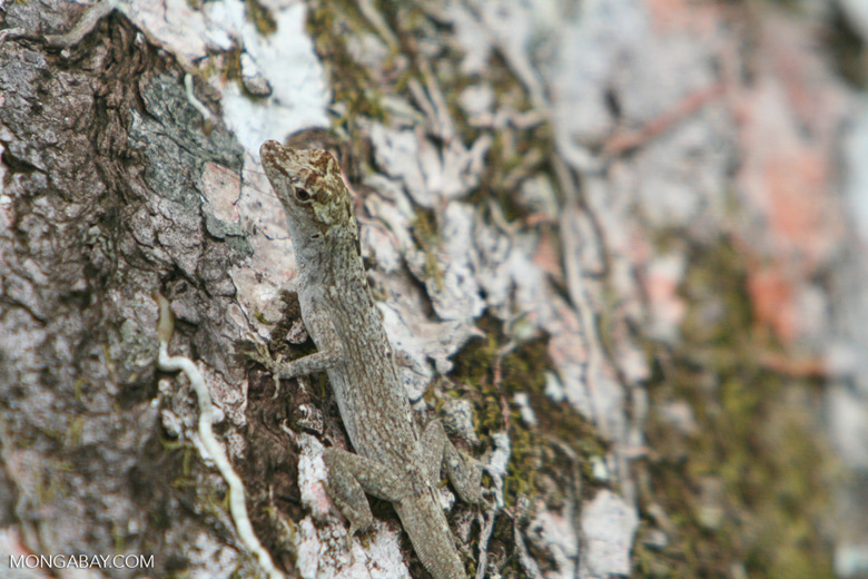 Anole lizard in the Amazon rainforest canopy