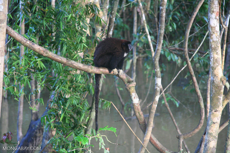 Yellow-handed Titi Monkey [co04-1085]