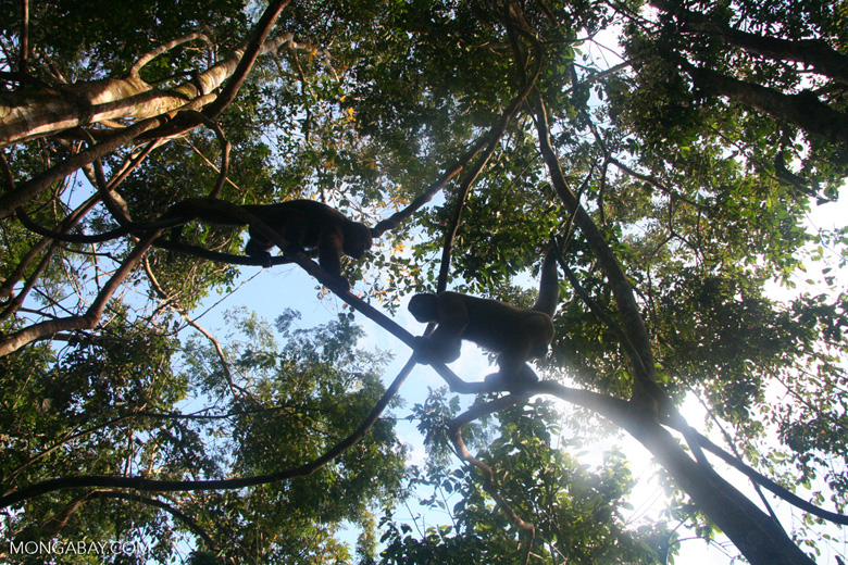 Two young male woolly monkeys