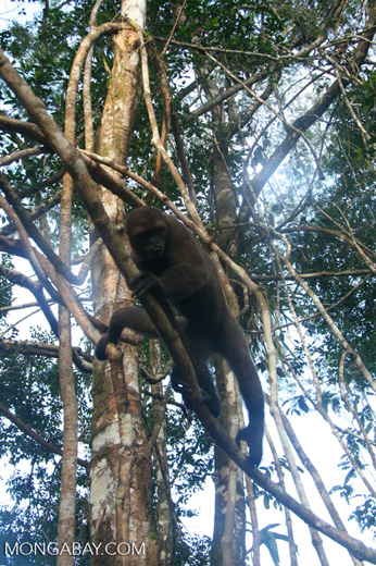 Wooly Monkey, not the Colombian black spider monkey (Ateles fusciceps rufiventris)