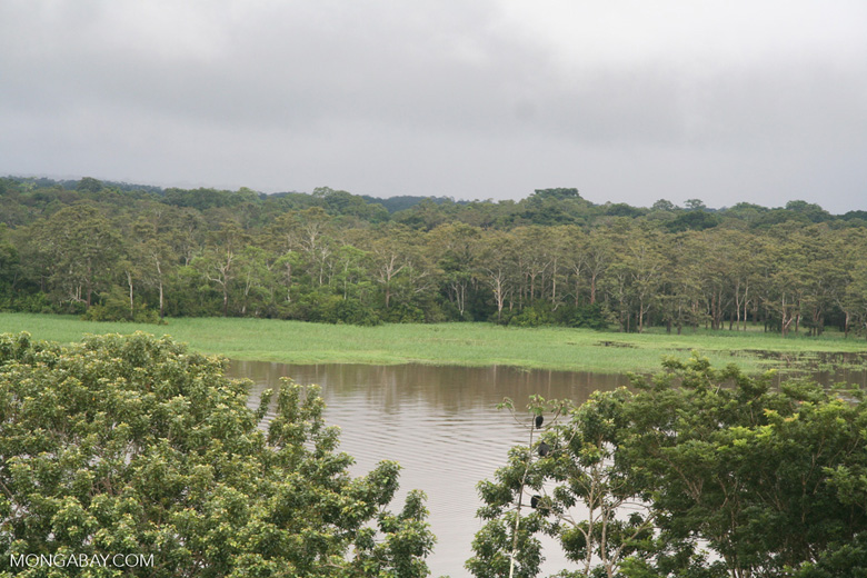 Grassy riverbank of an Amazon tributary