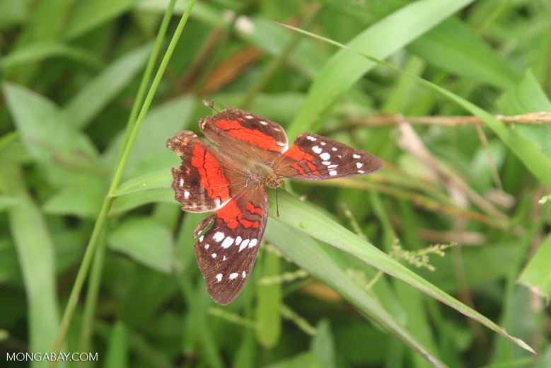 Red and brown butterfly