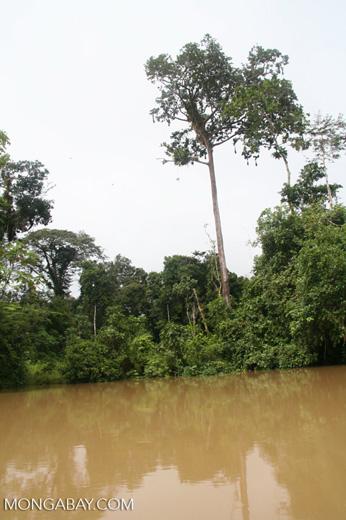 Oropendula nests along the Amacayacu, a tributary of the Amazon river