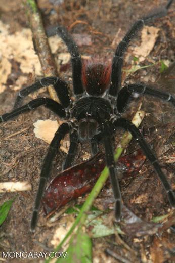 Pamphobeteus petersi or Red rump tarantula (Brachypelma vagans) in the Amazon rainforest [formerly labeled the Amazon Pink Toed tarantula (Avicularia amazonica)]