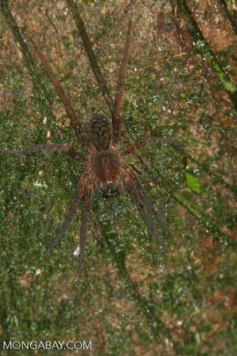 Brown spider [co05-0668]
