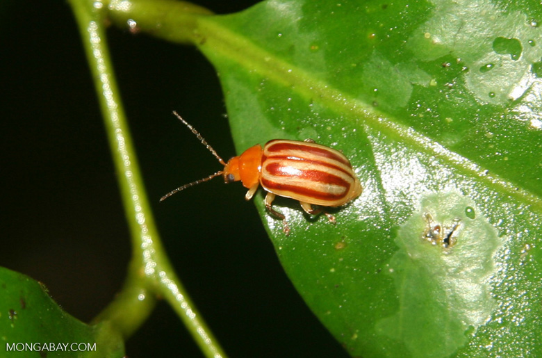 Orange and yellow Leaf Beetle, family Chrysomelidae