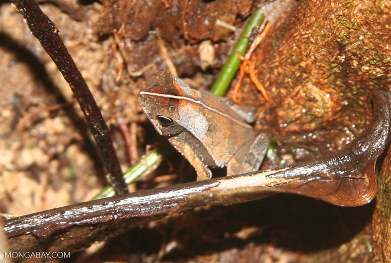 Leaf toad (probably Rhinella cf. margaritifer) among leaf litter.