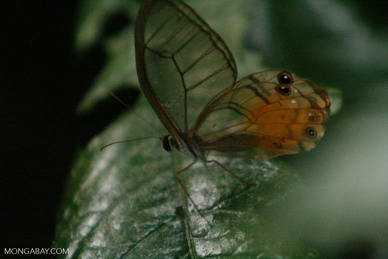 Clear-wing butterfly in the Colombian Amazon