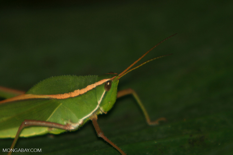 Close-up on a leaf grasshopper