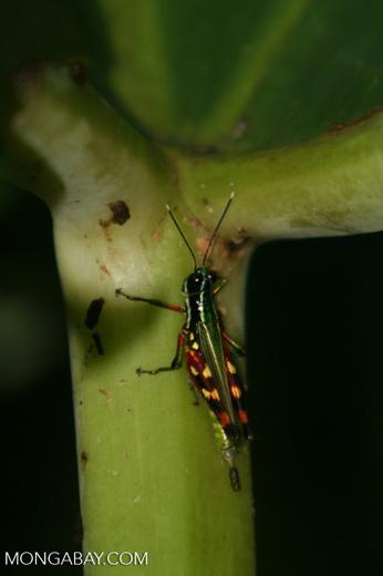Rainbow grasshopper [co05-0798]