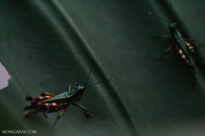 Multi-colored grasshoppers