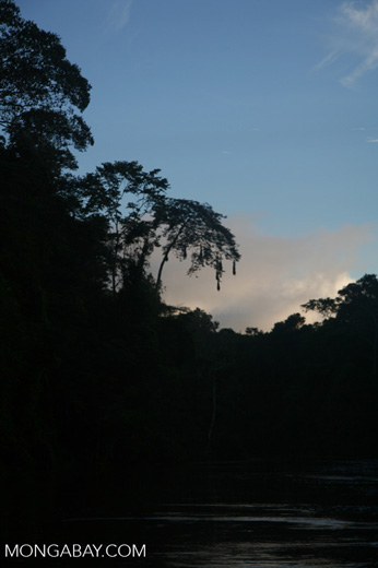 Oropendula nests silhouetted by sundown over the Amacayacu