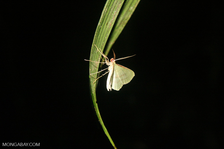 White moth spotted on a night walk in the Colombian Amazon