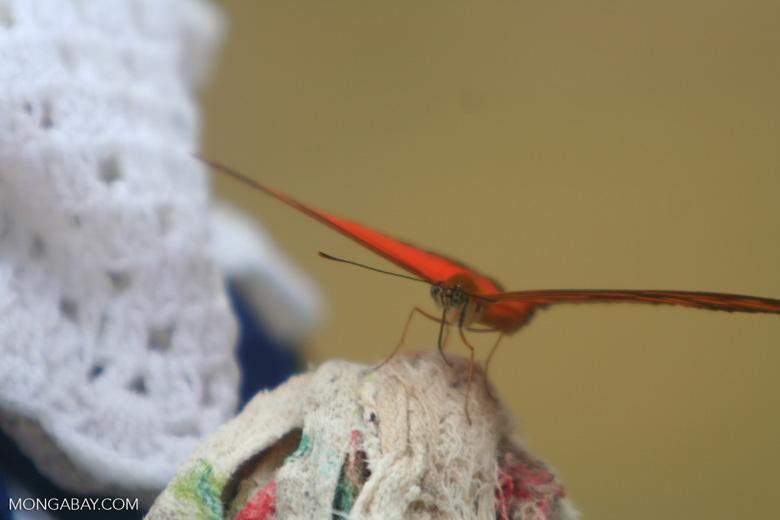 Orange butterfly feeding on damp laundry