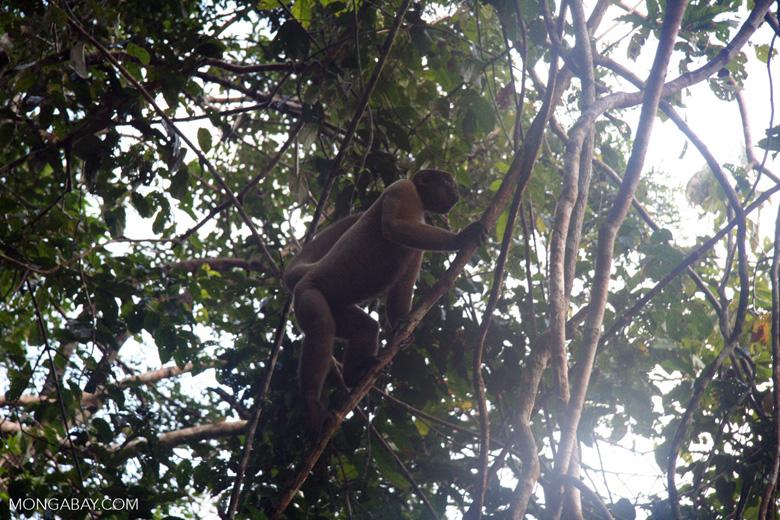 Woolly monkey in a tree