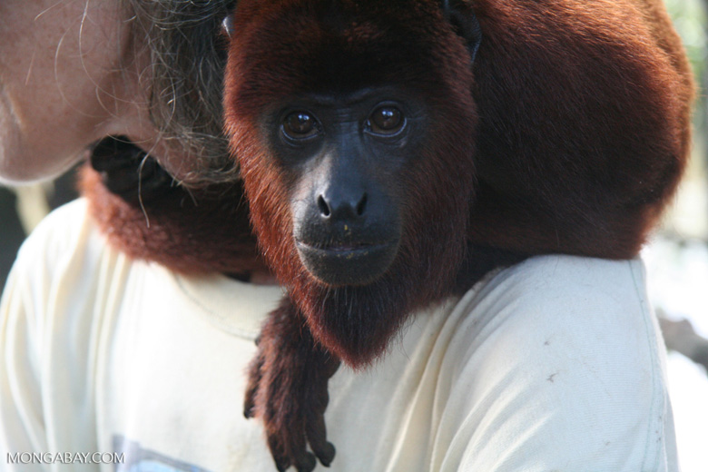 Orphaned red howler monkey at a rehabilitation center