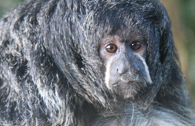 Monk saki monkey (Pithecia monachus) [co06-1190]