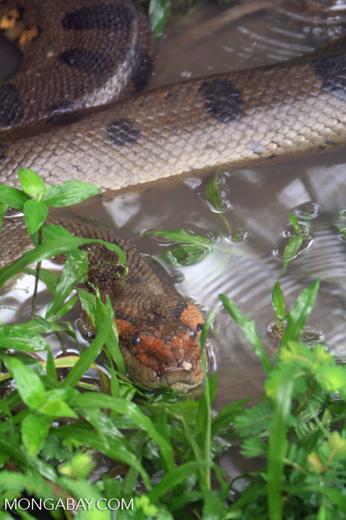 Green anaconda near a river edge in the Amazon