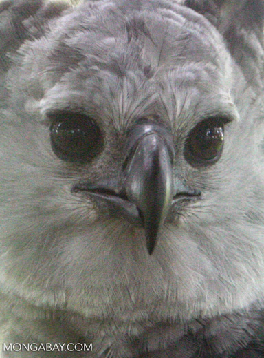 Closeup on the face of a harpy eagle