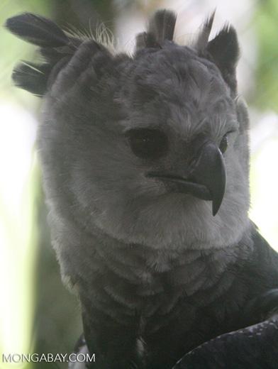 Harpy Eagle, Harpia harpyja