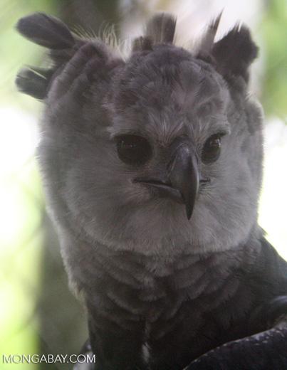 Harpy Eagle, Harpia harpyja, at a rehabilitation center