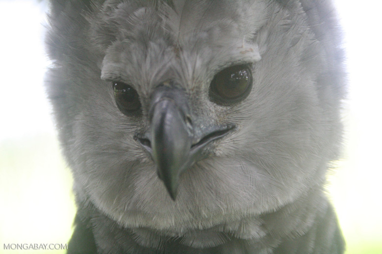 Face of a Harpy Eagle, the world's largest eagle